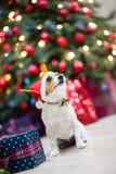 戴圣诞老人帽子的滑稽的爱犬坐在圣诞装饰 免版税库存照片