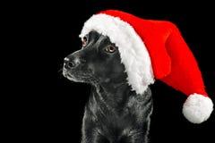 戴圣诞老人帽子的黑色拉布拉多混合狗 免版税库存照片