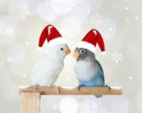戴圣诞节帽子的两对爱情鸟 免版税库存图片