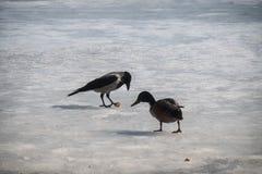 戴头巾乌鸦窃取了面包片从一只野鸭的 库存图片