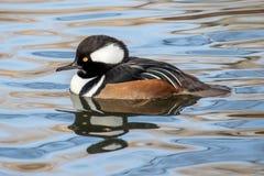 戴头巾秋沙鸭在池塘镇静地游泳 库存照片
