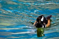 戴头巾秋沙鸭Lophodytes在湖的cucullatus游泳 库存照片