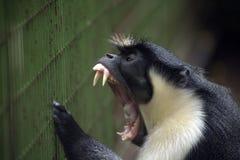 戴安娜愤怒的猴子 免版税库存图片