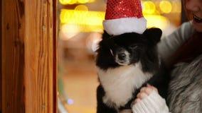 戴是的一条逗人喜爱的可爱的狗圣诞老人帽子圣诞老人项目在圣诞节假日期间 这条狗看很满意对她 影视素材