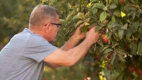 戴眼镜的一个成熟人视觉采撷苹果的在苹果树 秋天收获,生态种田 影视素材