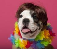 戴着假发的牛头犬接近的英国小狗 库存图片