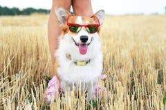 戴红色太阳镜的凉快的威尔士小狗彭布罗克角狗在度假步行的与他的大师 库存图片