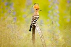 戴胜, Upupa epops,与冠的好的橙色鸟由紫罗兰色花坐夏天草甸,匈牙利 在的美丽的鸟 免版税库存照片