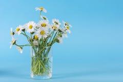 戴西在蓝色背景隔绝的玻璃花瓶开花在演播室 免版税库存照片