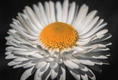 戴西花关闭在黑背景 与白色瓣的延命菊和与详细的黄色中部 免版税库存图片