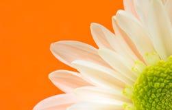 戴西花特写镜头在桔子的 免版税库存照片