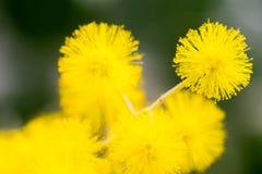 户内黄色球花在黑暗的背景 免版税库存照片