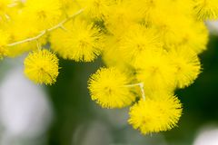 户内黄色球花在黑暗的背景 库存图片