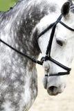 户外一匹纯血统灰色驯马马的头 库存照片