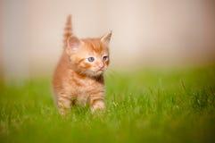 户外一只红色小猫的纵向 图库摄影