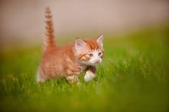户外一只红色小猫的纵向 库存照片