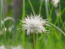 户外一朵粗野的白色野花在绿色 免版税图库摄影
