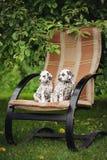 户外两只达尔马希亚小狗 免版税库存照片