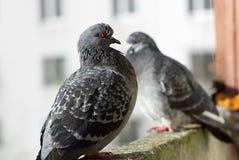 户外两只鸽子 库存照片