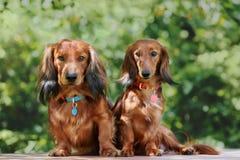 户外两条达克斯猎犬狗在夏天 免版税库存图片