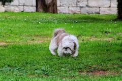 户外中国狗shih tzu在公园 免版税图库摄影