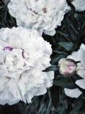 户外人美丽的自然庭院村庄白色颜色不开花的白色牡丹特写镜头天庭院 免版税库存照片