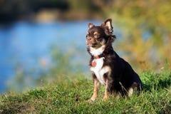户外可爱的棕色奇瓦瓦狗狗 免版税库存照片