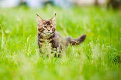 户外可爱的缅因浣熊小猫 库存图片
