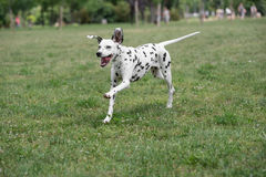 户外可爱的黑达尔马希亚狗在夏天 免版税库存照片