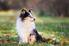 户外可爱的sheltie狗在秋天 免版税库存照片