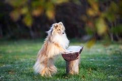 户外可爱的sheltie狗在秋天 库存图片