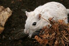 户外女性啮齿目动物白色 免版税图库摄影