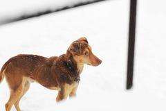 户外布朗狗在冬天 免版税库存照片