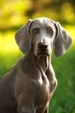 户外幼小weimaraner狗在绿草 库存照片