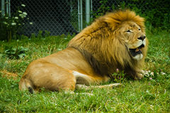 成人狮子 免版税库存照片