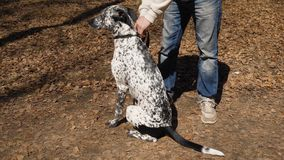 户外所有者人与一条黑白被察觉的达尔马希亚狗 人让狗皮带 免版税图库摄影
