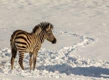 户外斑马驹在雪在动物园里 免版税库存照片