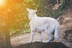 户外机敏的白色西伯利亚爱斯基摩人狗在山 免版税库存照片