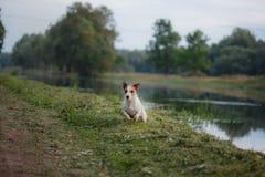 户外杰克罗素狗的画象 在步行的一条狗在公园 库存图片