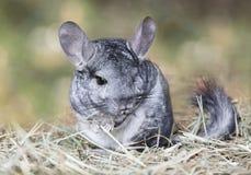 户外灰色黄鼠 免版税库存图片