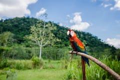 户外猩红色金刚鹦鹉基于棍子的自然背景 免版税库存图片