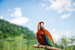 户外猩红色金刚鹦鹉基于棍子的自然背景 免版税图库摄影