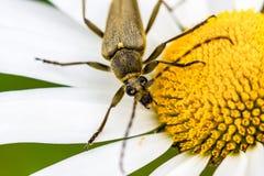 户外甲虫臭虫的特写镜头在与白色瓣的一朵黄色花 库存照片