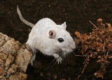户外空白母啮齿目动物 库存照片