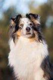 户外粗砺的大牧羊犬狗在冬天 图库摄影