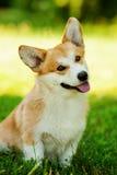 户外红色威尔士小狗彭布罗克角狗在绿草 图库摄影