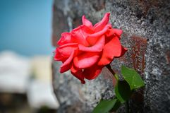 户外红色玫瑰 库存图片