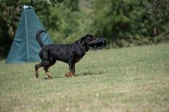 户外纯血统Rottweiler狗在草草甸o的自然 库存照片