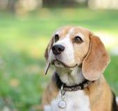 户外美丽的小猎犬狗画象 库存图片