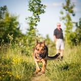 户外美丽的德国牧羊犬狗 免版税库存图片